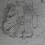2011 50 x 50 Blyantstegning af hvid rose